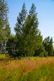 Summer landscape. Flowering meadow sunny morning in a summer forest stock image