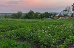 Summer landscape with flowering potato bed in vegetable garden in Boromlya village Stock Photography