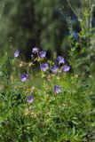 Flowers of meadow cranesbill {Geranium pratense} bloom on a green meadow in the forest. Summer landscape. Flowers of meadow cranesbill {Geranium pratense} bloom royalty free stock photography