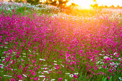 Summer  landscape with  flowers on a meadow and  sunset Royalty Free Stock Photo