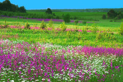 Summer  landscape with  flowers on a meadow and  sunset Stock Images