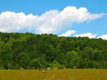 Summer landscape with forests, clear sky, and herd of cows on a hill Royalty Free Stock Images