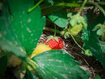Strawberry summer fruit. Summer landscape free melcuphoto photography commercial license Royalty Free Stock Photography