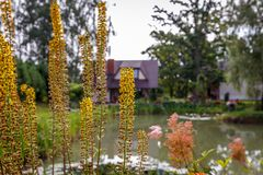 Yellow vertical flowers,at the forefront of yellow vertical flowers, outline. Summer landscape in the garden by the pond; at the forefront of yellow vertical royalty free stock photography