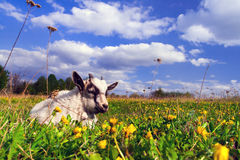 Summer landscape with a goat Royalty Free Stock Images