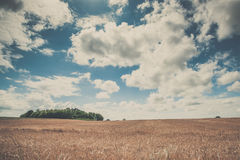 Summer landscape with golden grain Royalty Free Stock Photos