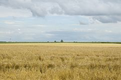 Summer landscape with grainfield and blue cloudy sky stock photo