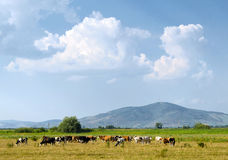 Grazing cows on the field. The place is the Hungarian rural. Tokaj hill can be seen in the background Stock Photo