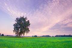 Summer landscape with green grass, corn, tree and clouds Stock Photography