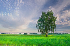 Summer landscape with green grass, corn, tree and clouds Royalty Free Stock Image