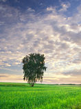 Summer landscape with green grass, corn, tree and clouds Stock Photo