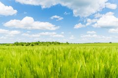 Summer landscape, green rye field. With cloudy blue sky triticale agroindustry sowing crossing crop harvest cereal triticosecale close grain culture agriculture royalty free stock photography