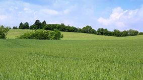 Green wheat field and blue clouds sky. Summer landscape with green wheat field and clouds sky stock video