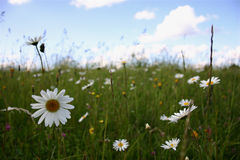 Summer landscape II. Clear summer landscape with daisies. Focus on the flowers at the front Royalty Free Stock Photography