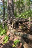 Intricately twisted bare roots of old pine tree on the shore of the lake Seliger, Tver region. Stock Image