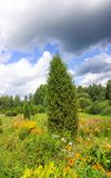 Summer landscape in Latvia, East Europe. Bright flowers and spruce tree. Summer landscape in Latvia, East Europe. Bright flowers and spruce tree royalty free stock image