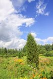 Summer landscape in Latvia, East Europe. Bright flowers and spruce trees royalty free stock image