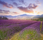 Summer landscape with lavender field Stock Photos