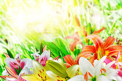 Summer landscape of lily flowers Royalty Free Stock Photos