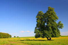 Summer landscape with lime tree Royalty Free Stock Photography