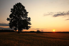 Summer landscape with a lone tree Royalty Free Stock Photography