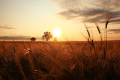 Summer landscape with a lone tree at sunset Royalty Free Stock Image
