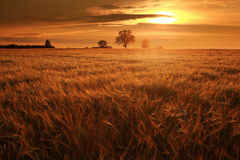 Summer landscape with a lone tree Royalty Free Stock Images