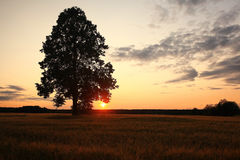 Summer landscape with a lone tree at sunset barley field Stock Photo