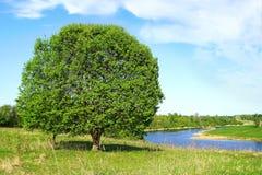 Summer Landscape lonely big tree. Stock Images
