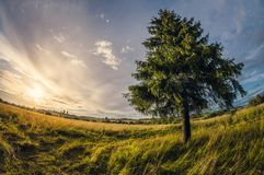 Summer landscape. spruce in the field at sunset, distortion perspective fisheye lens view. Summer landscape. lonely spruce in the field at sunset, distortion royalty free stock photography