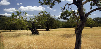 Summer landscape in majorca. Panorama of a rural landscape including almond trees in Majorca Royalty Free Stock Photos