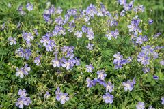 Many blue flowers of meadow cranesbill {Geranium pratense} bloom on a green meadow. Summer landscape. Many blue flowers of meadow cranesbill {Geranium pratense royalty free stock images