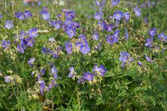 Many flowers of meadow cranesbill {Geranium pratense} bloom on a green meadow. Summer landscape. Many flowers of meadow cranesbill {Geranium pratense} bloom on stock image