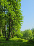 Summer landscape with many green grass and big linden tree. Summer landscape with many green grass and green trees around Royalty Free Stock Images