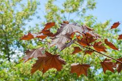 Summer landscape. Maple with red leaves. Leaves of Korea Maple,. Acer palmatum Atropurpureum. Dark red peach azer stock photography