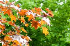 Summer landscape. Maple with red leaves. Leaves of Korea Maple,. Acer palmatum Atropurpureum. Dark red peach azer stock photos