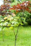 Summer landscape. Maple with red leaves. Leaves of Korea Maple,. Acer palmatum Atropurpureum. Dark red peach azer royalty free stock photography