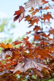 Summer landscape. Maple with red leaves. Leaves of Korea Maple,. Acer palmatum Atropurpureum. Dark red peach azer royalty free stock photos