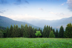 Summer landscape with a maple tree in the mountains. Summer landscape in the mountains. Maple tree on a green meadow with grass and flowers. Mountain slopes with Royalty Free Stock Photography