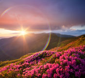 Summer landscape with meadow pink rhododendron flowers in the mo Stock Photos