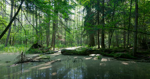 Summer landscape of old forest and broken tree Royalty Free Stock Photography