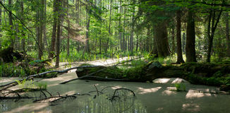 Summer landscape of old forest and broken tree Royalty Free Stock Images