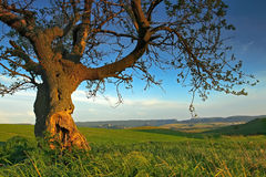 Summer landscape with an old tree Stock Photos