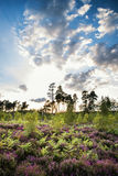 Summer landscape over meadow of purple heather during sunset Stock Image