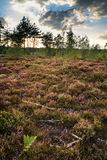 Summer landscape over meadow of purple heather during sunset Royalty Free Stock Photography