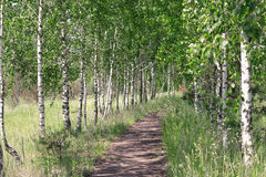 Summer landscape. Path in the birch copse Stock Images