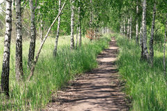 Summer landscape. Path in the birch copse Stock Photos