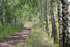 Summer landscape. Path in the birch copse Royalty Free Stock Images