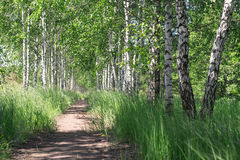 Summer landscape. Path in the birch copse Stock Image