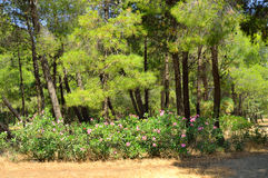 Summer landscape with pine trees, Greece. Summer landscape with pine trees in park Loutraki, Greece Royalty Free Stock Photos